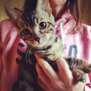 gorgeous male brown rosetted bengal kitten