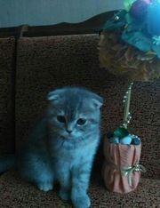 Lovely Scottish Fold Kitten For Sale.